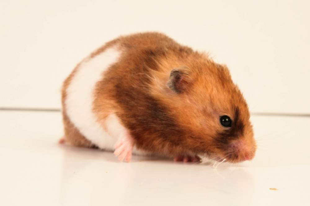 Golden hamster Deceased Mesocricetus auratus