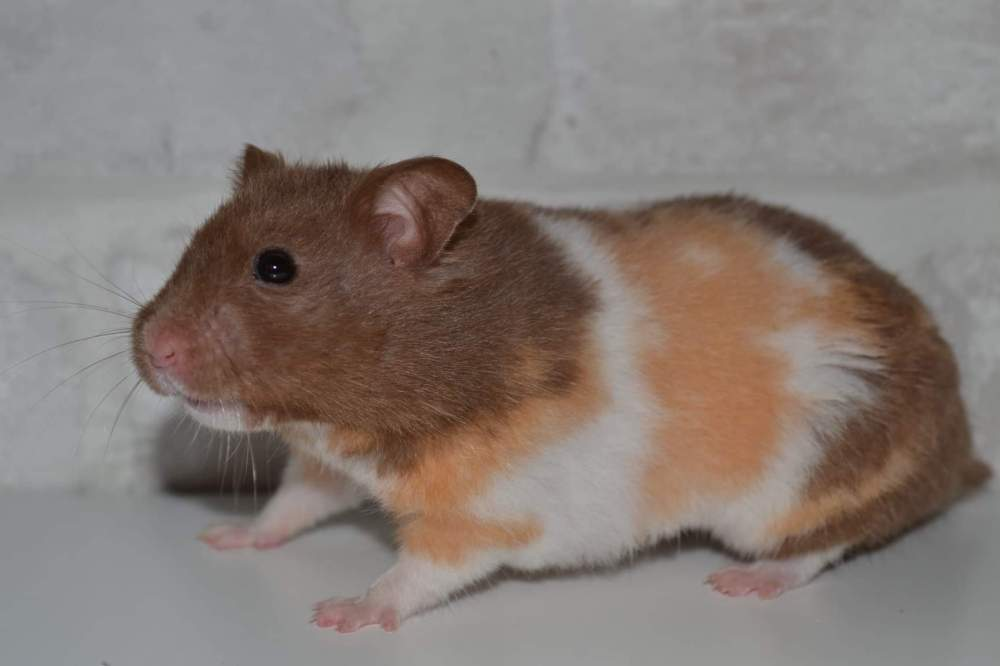 Golden hamster Owned by other Mesocricetus auratus
