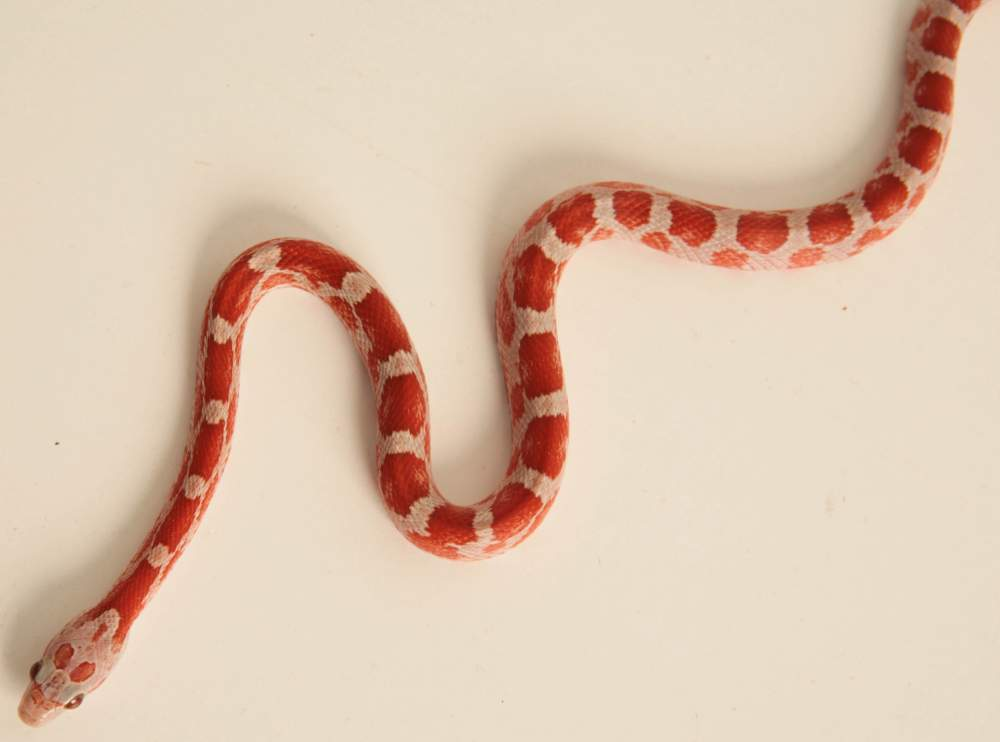 Corn snake (Pantherophis guttatus) Available for rehoming Pantherophis guttatus Hungary, Budapest