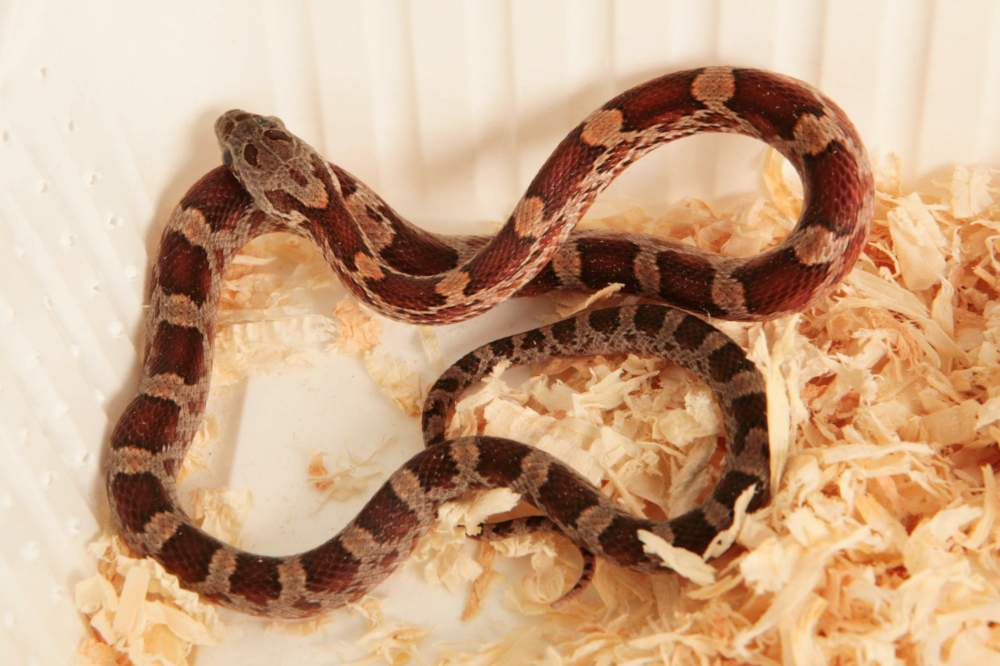 Corn snake (Pantherophis guttatus) Rehomed Pantherophis guttatus Hungary, Budapest