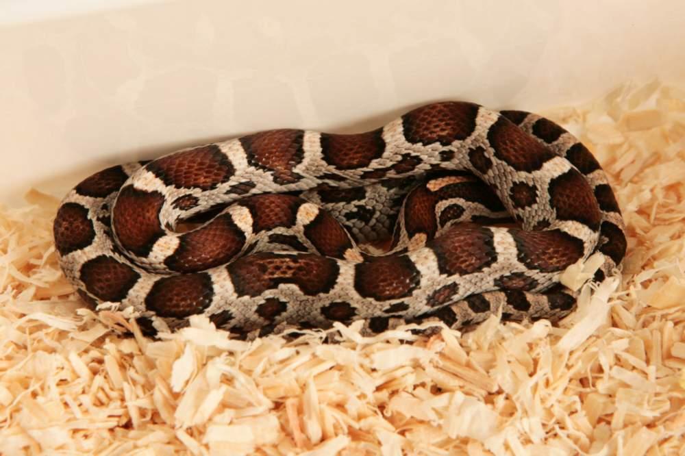 Corn snake (Pantherophis guttatus) Rehomed Pantherophis guttatus Hungary, Budapest