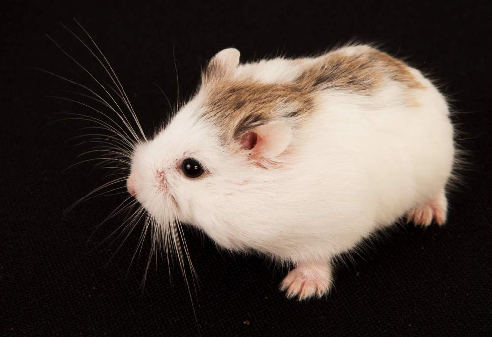 Roborovski dwarf hamster Available for rehoming Phodopus roborovskii Hungary, Budapest