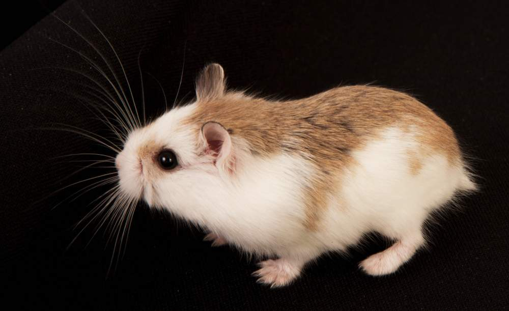 Roborovski dwarf hamster Available for rehoming Phodopus roborovskii Hungary, Budapest