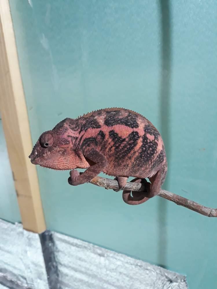 Panther chameleon Breeder Furcifer pardalis