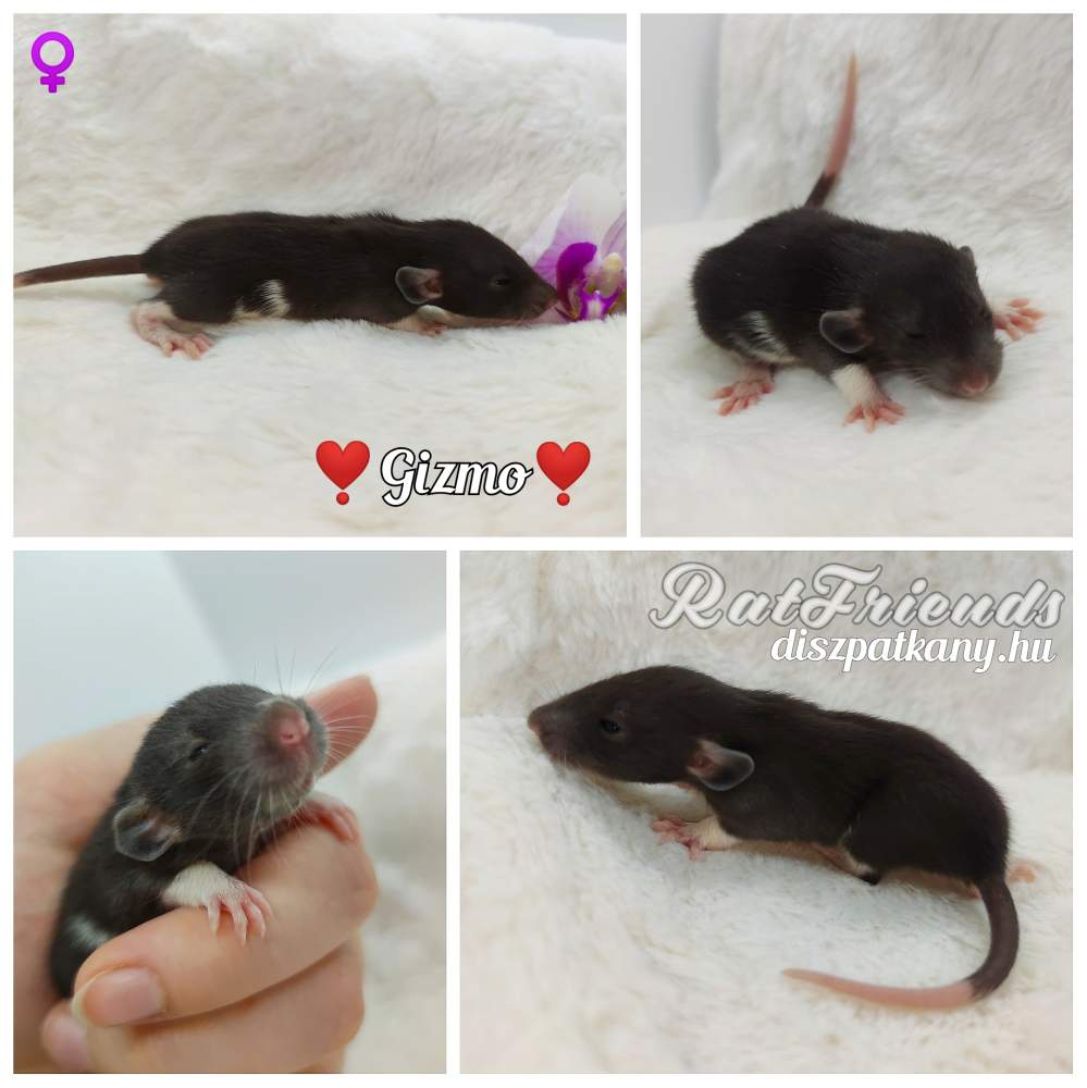 Fancy rat Owned by other Rattus norvegicus
