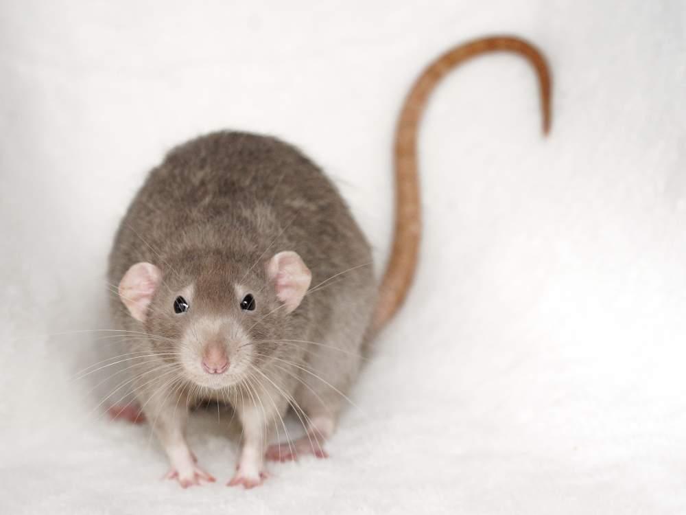 Fancy rat Retired Rattus norvegicus Hungary, Budapest